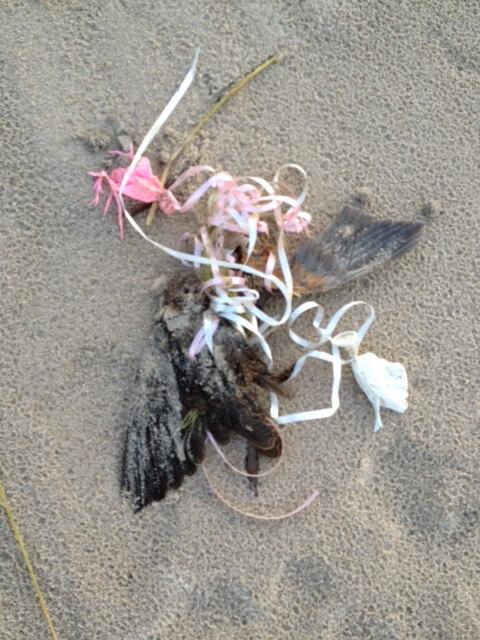 Rusty-blackbird vulnerable species found dead entangled in balloon ribbon  Photo credit: David E Gurniewicz