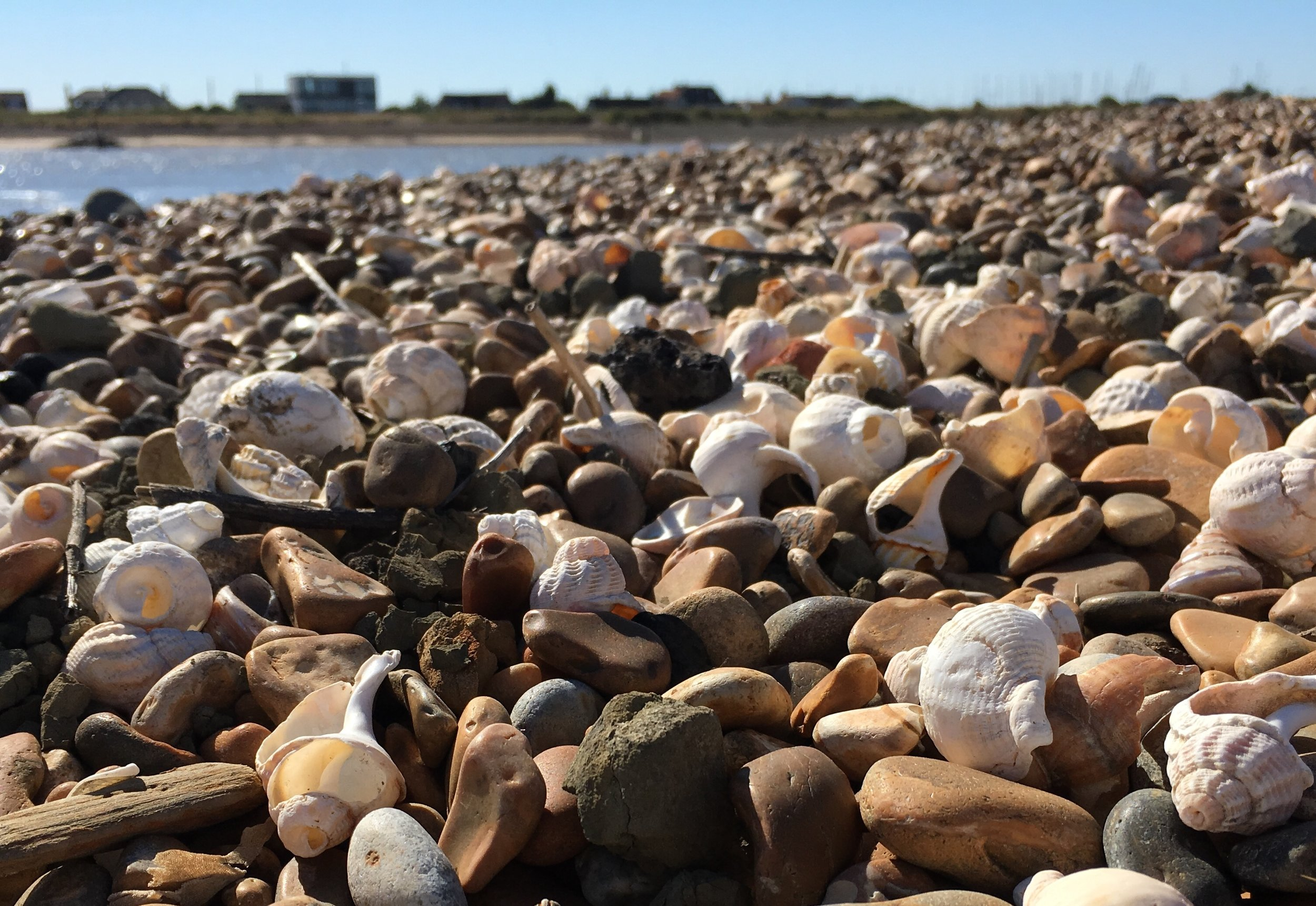 Bawdsey beach with whelk shells.jpg