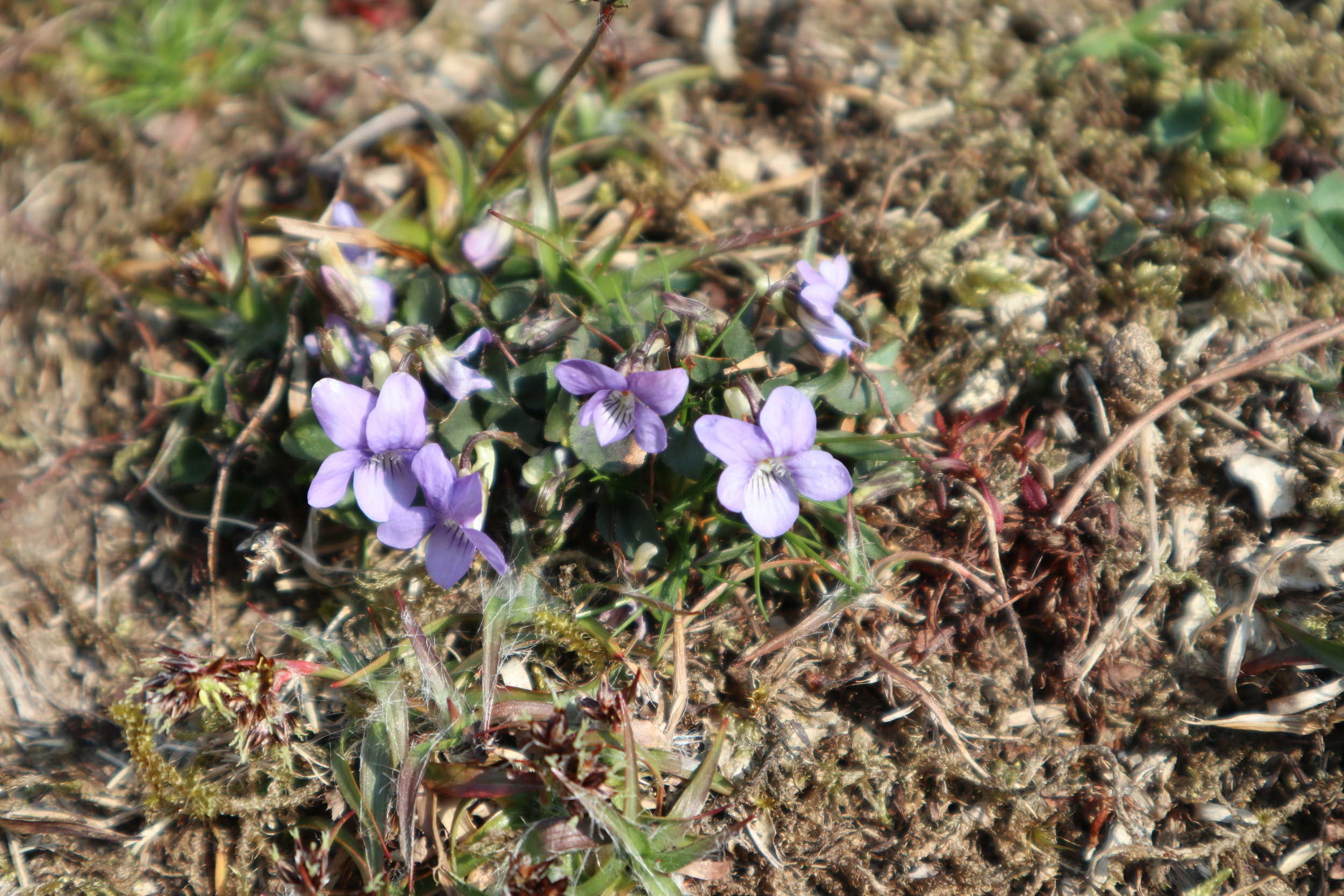 I spotted the tiny Common Dog-violet (Viola riviniana) in flower