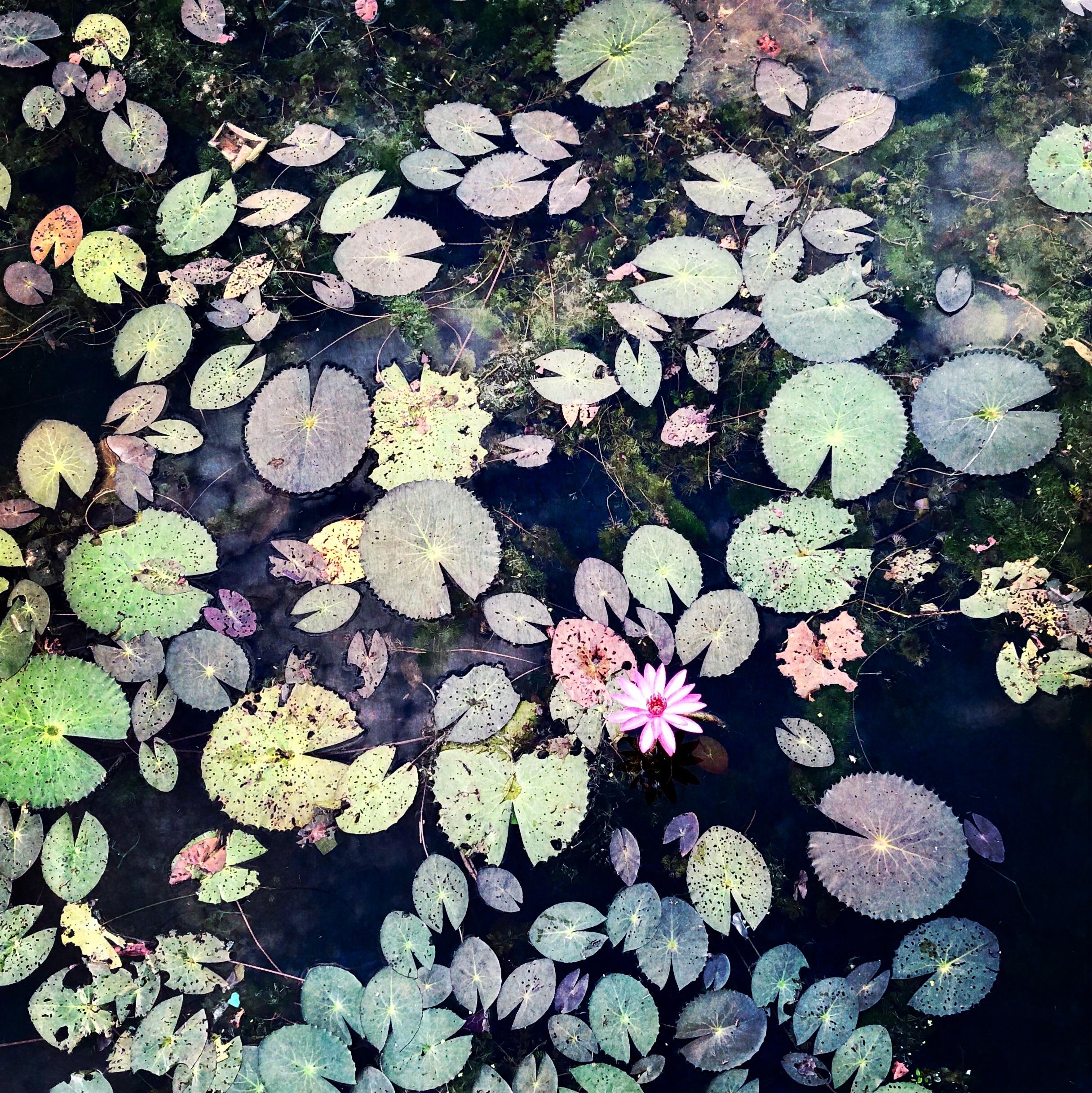 'Waterlillies'