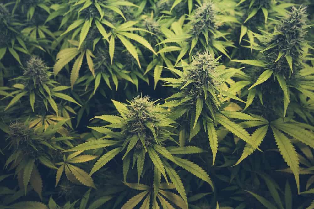 everything-need-know-marijuana-cannabis-hero.jpg