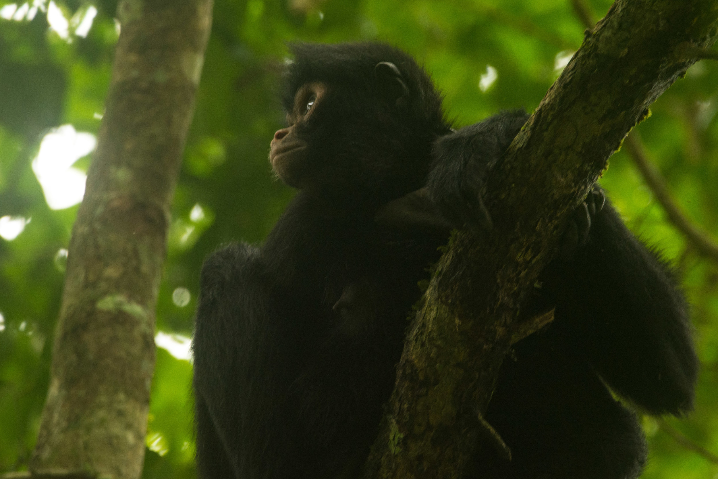 Endangered species like these spider monkeys are threatened in the Manu region, largely due to hunting. Photo: Kawsay Biological Station.