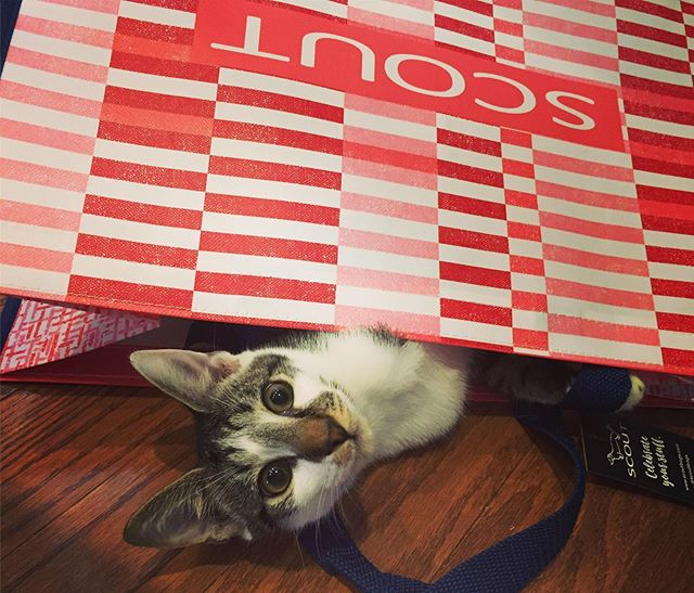 Kitty cats love limited edition SCOUT shoppers. Thank goodness for durability and resilience! #thebrassmonkey2016 #gloucesterma #shopcapeann #gloucestermass #gloucestermassachusetts #northshorema #shopsmall #shopsmallbusiness #shoplocal #glosta #scoutretailers #scoutbags #scoutbag #scoutbybungalow #retailers_scoutbags #scoutingsummer