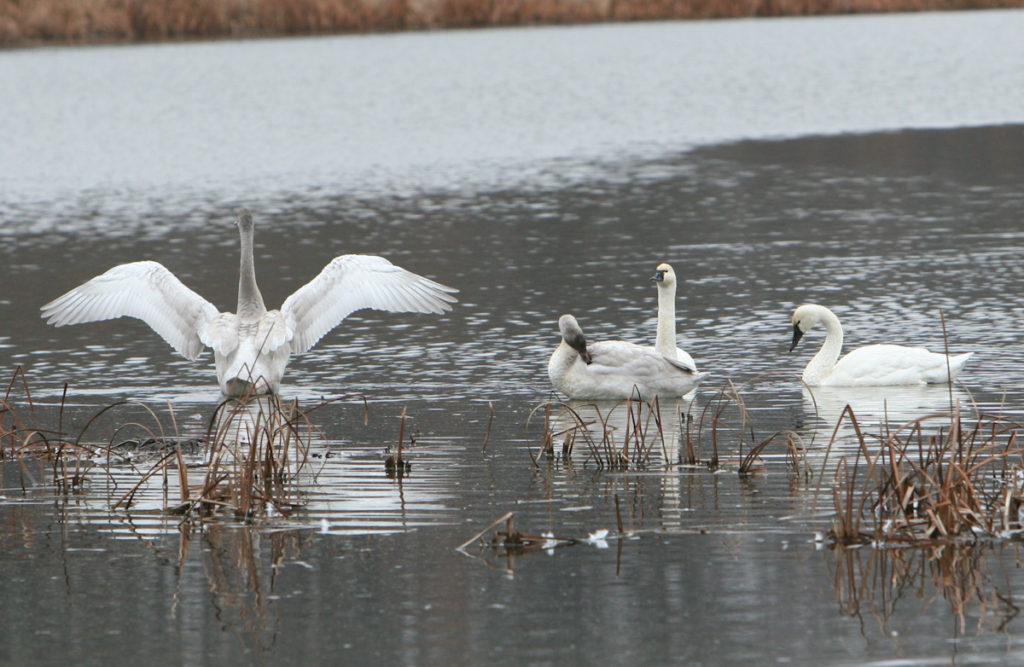 Swans Bird Watching.jpg