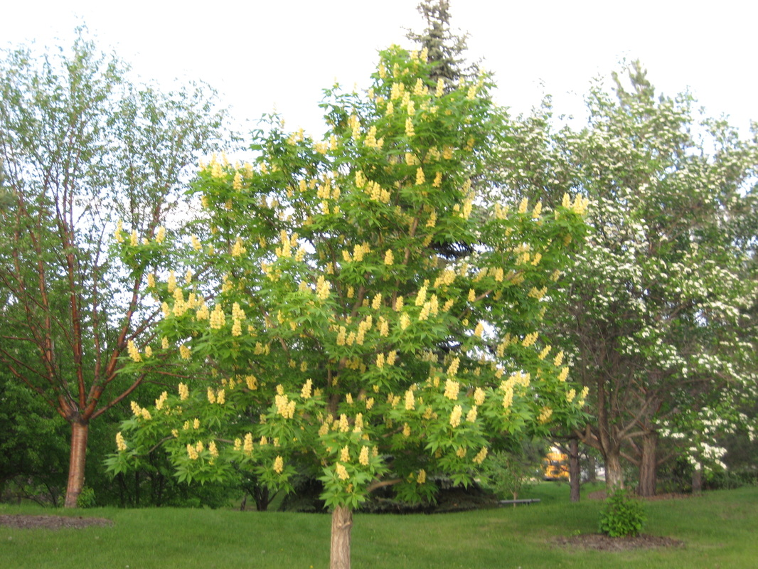 Ohio Buckeye (Aesculus glabra) is incredibly hardy for our Lethbridge region.
