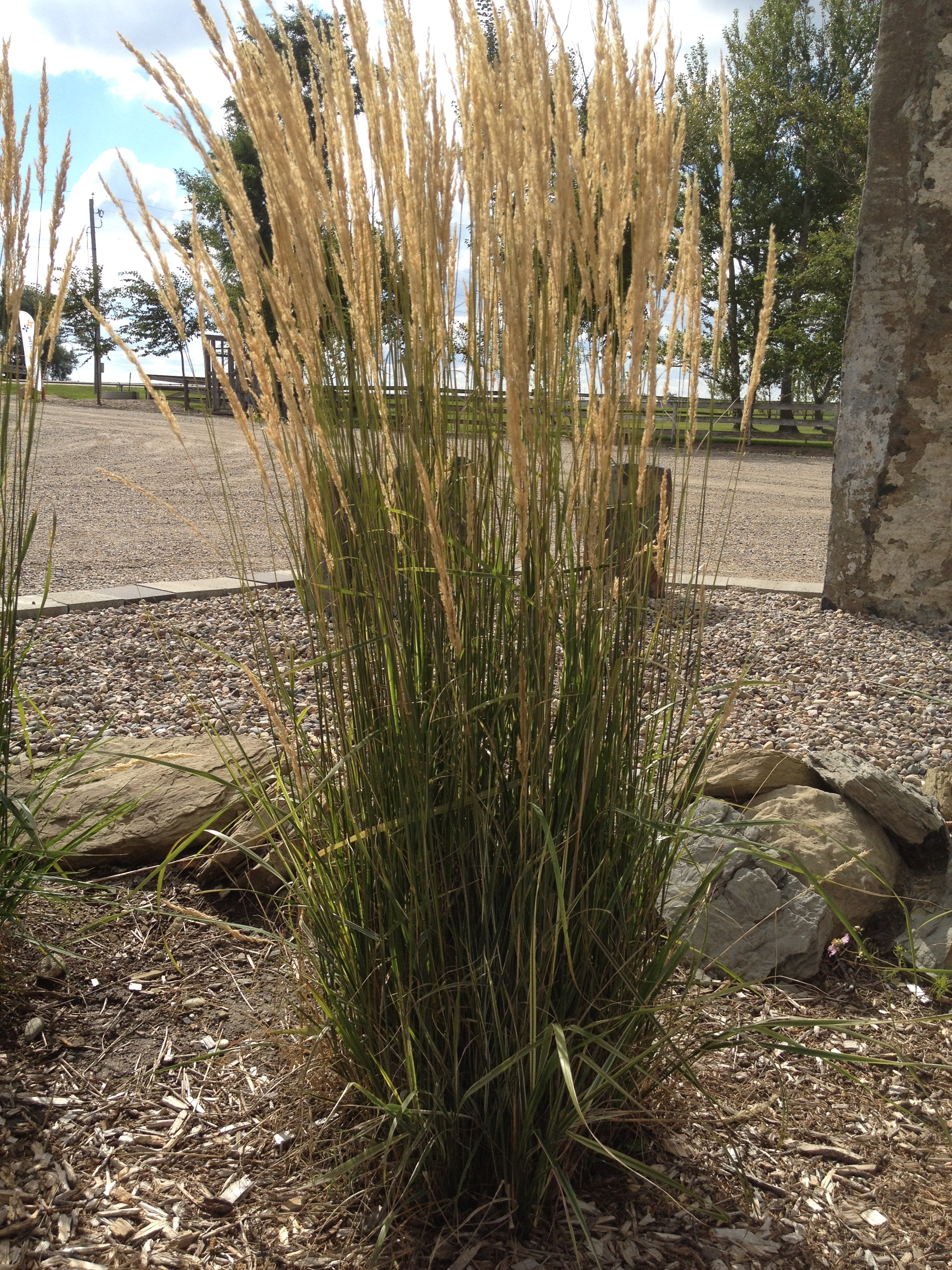 Overdam Feather Reed Grass (Calamagrostis acutiflora 'Overdam') is inexpensive and easy to maintain.
