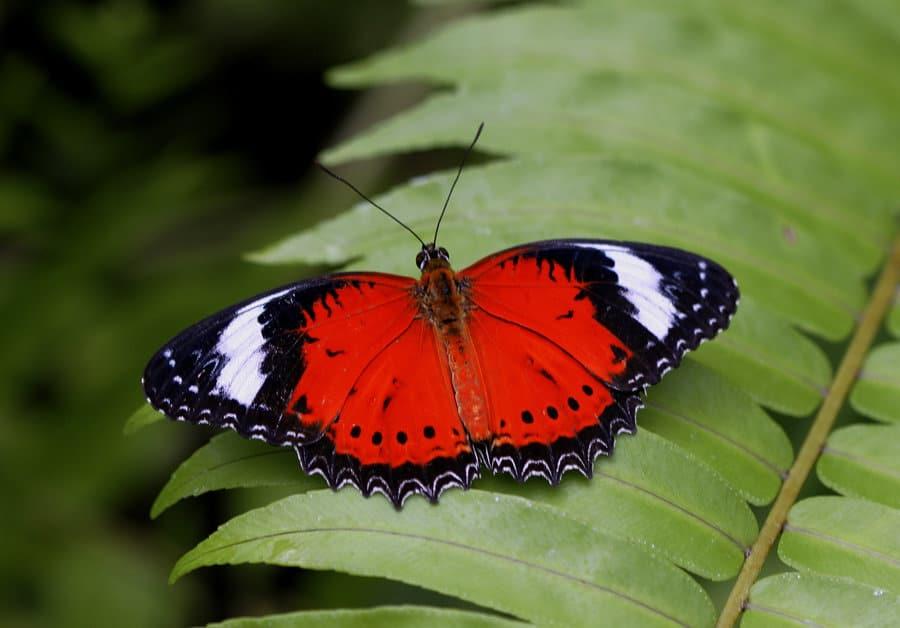 Australian-Butterfly-Sanctuary_Redder-lacewing.jpg