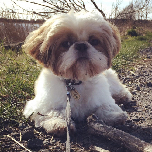 This is Bailey, our 11 month Shih Tzu. I got him for a companion for my son who has ASD & ADHD. He's had such an impact on both our lives and we love him to bits! My son struggles socially, has poor communication skills and anxiety but Bailey has made such an impact on his life helping him cope immensely with all of this! - Veronica