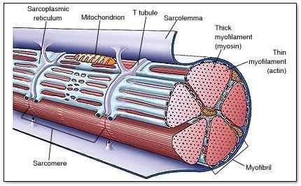 Muscle inside.jpg