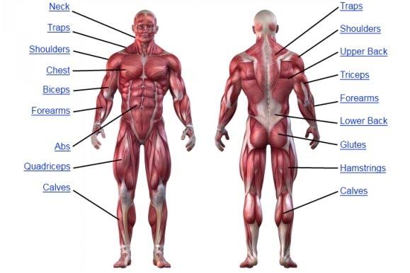 muscle-anatomy-chart.jpg
