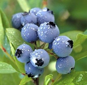 blueberries-300x293.jpg