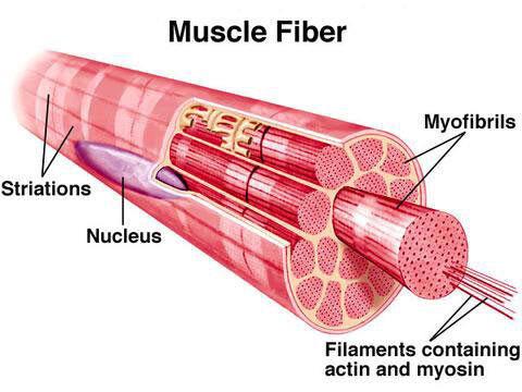 Muscle-fiber-2.jpg