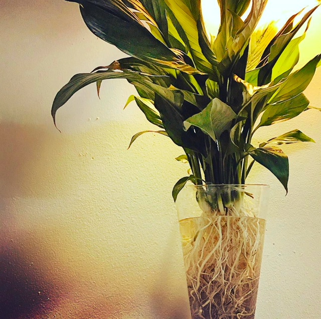 Spathiphyllum and Root System in Water and Glass Wall Vase