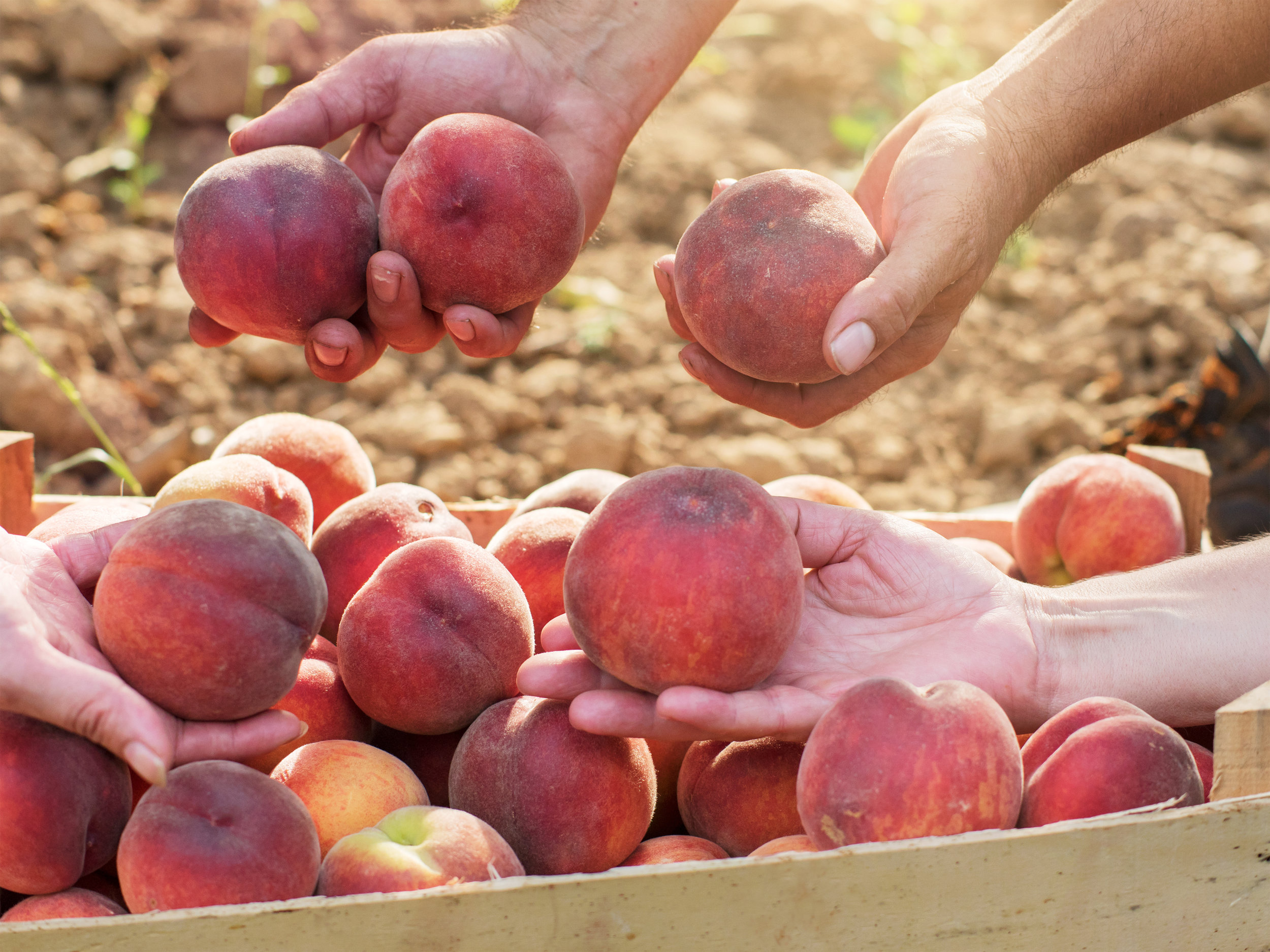 Our Peaches - Blazing Star, Blushing Star, Rising star & Flaming Fury.Our peaches' first harvest came early for us in 2018, so this year we are looking forward to what they have in store for us! The taste and quality were out of this world. Stay tuned for where to get our peaches this summer!