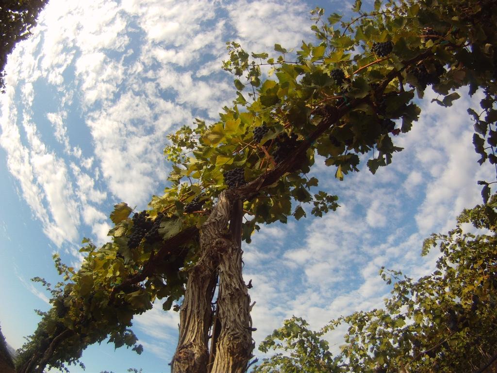 Stonetree Vine