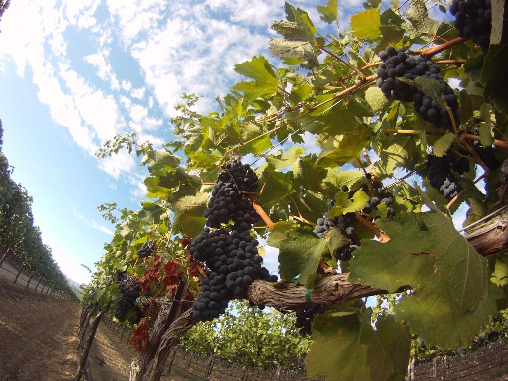 Stonetree Grapes