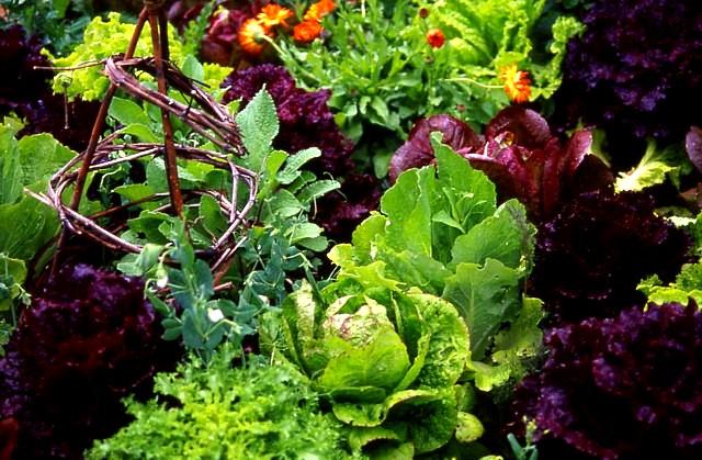 lettuce and peas.jpg