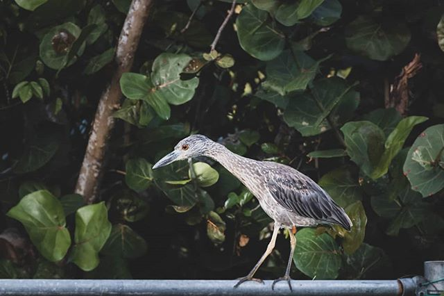 This friend visits  us every night! . . . . . #culebra #puertorico #flamecobeach #playaflamenco #playita #sunlife #saltlife #sunbathing #snorkling #fishing #boating #sunshine #discoverpuertorico #visitpuertorico #fabieloz @fabieloz #birdwatching #beachphotography #vacationmode