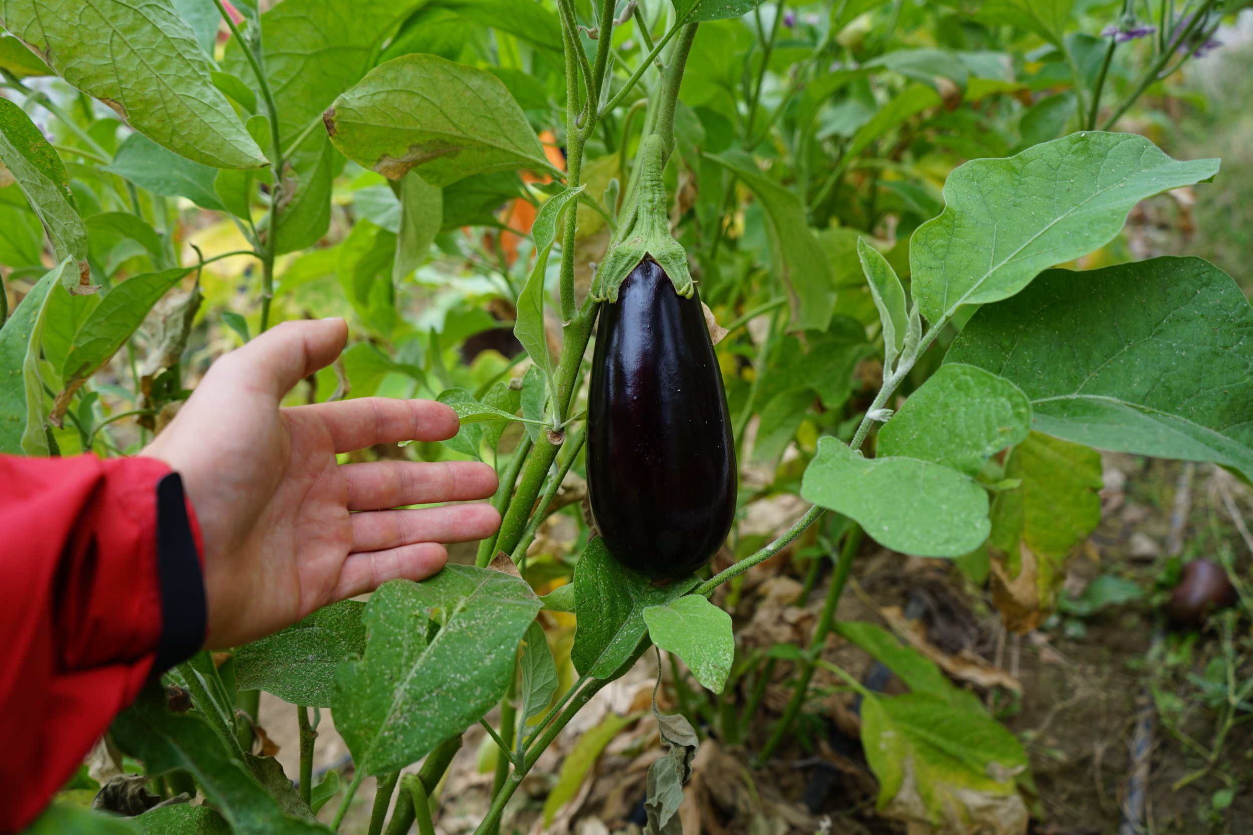 Geothermally assisted eggplant!