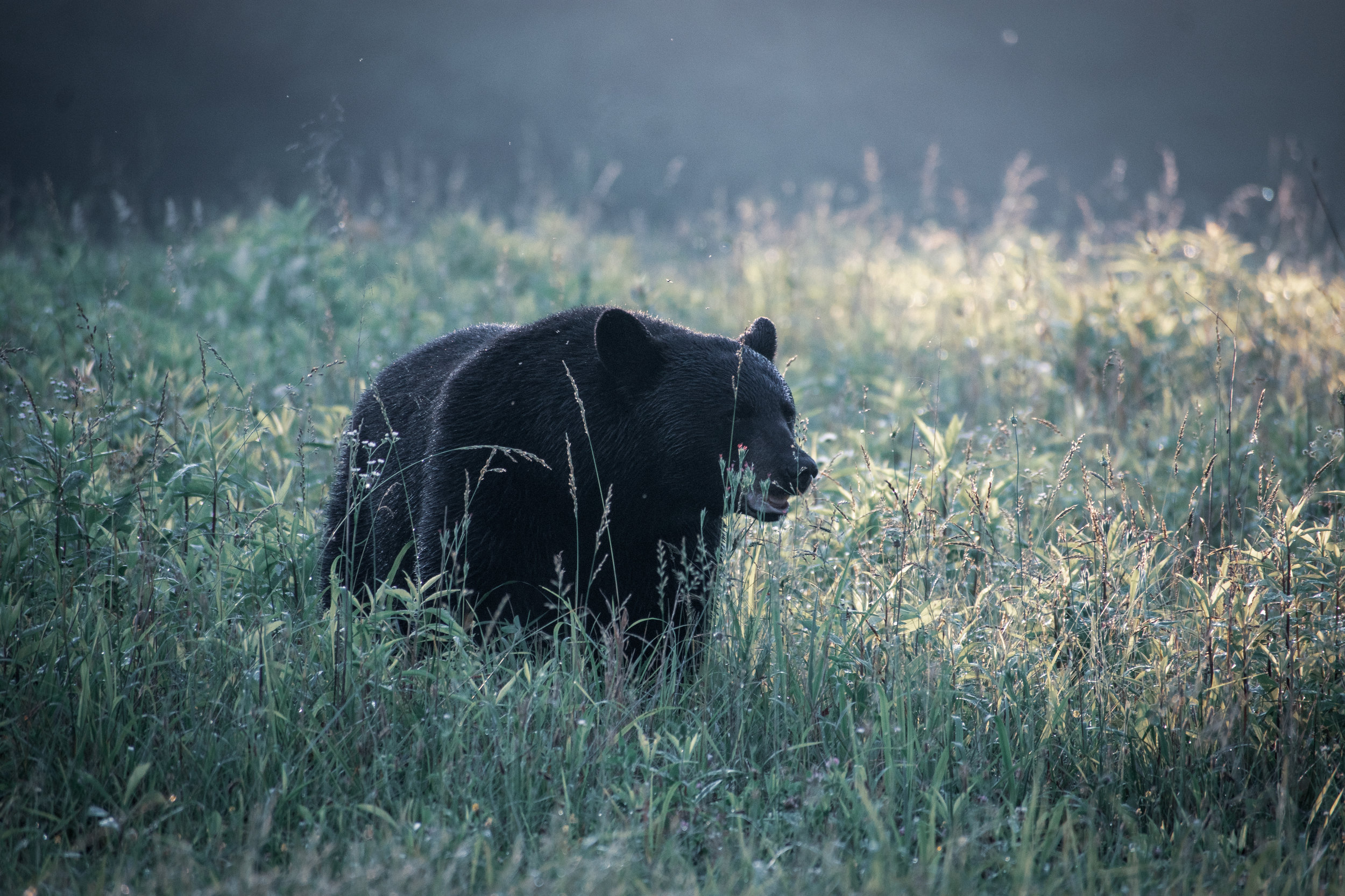 This was an unintentional encounter. While trying to photograph the light in this meadow, this bear suddenly appeared out of the tall grass. It's so important to continue scanning your surroundings when you know you're in a predator habitat.