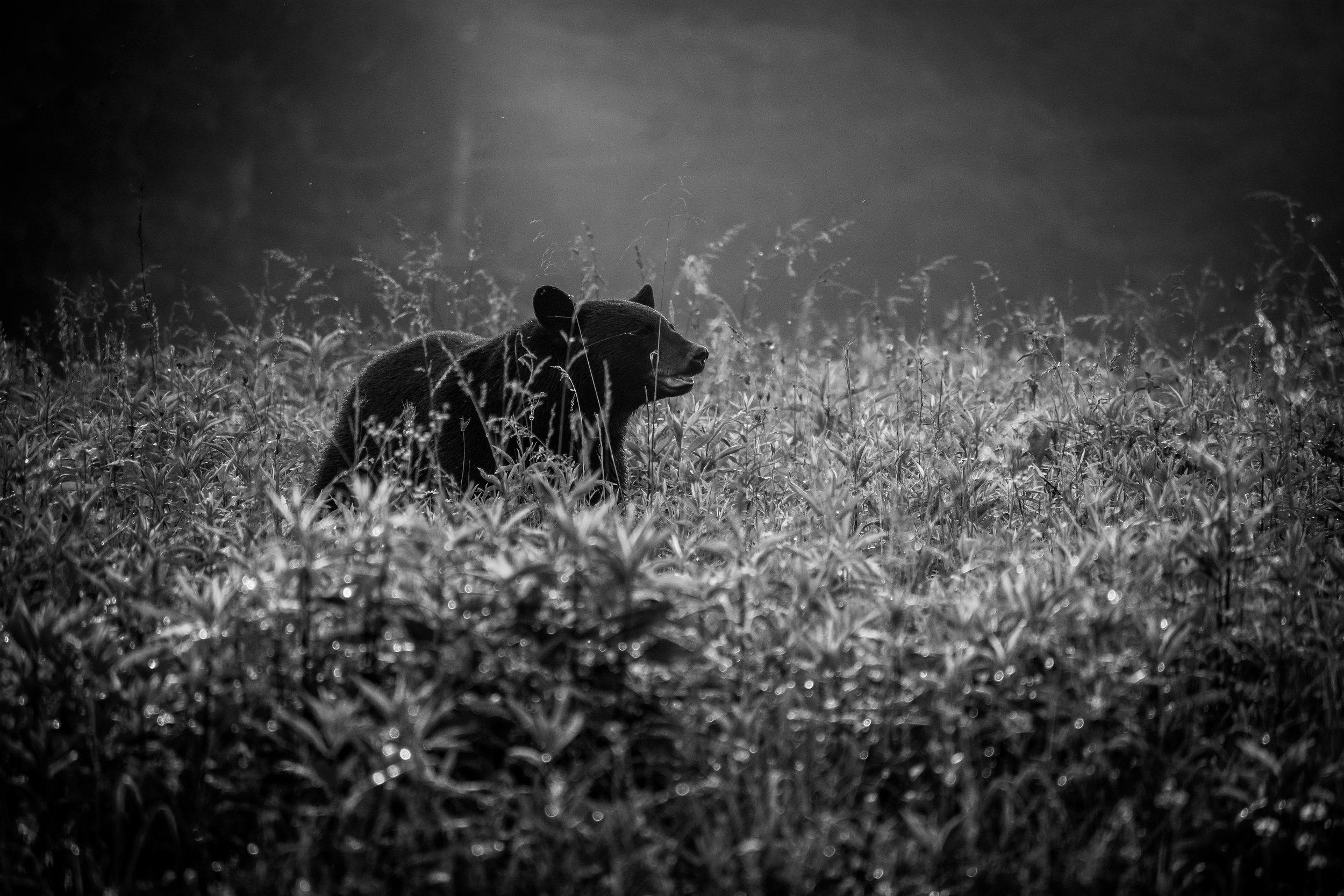 Bears -