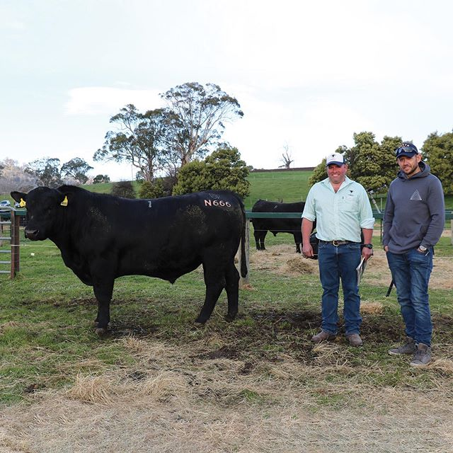 A big thank you to everyone who attended yesterday's Annual Spring Bull Sale.  The Spring weather was turned on for us and we saw 100% clearance rate of 109/109 bulls sold with the top price of $19000 for Lot 1 Landfall Keystone N666, sold to JoshHarvey of King Island.We would like to thank the Harvey family for their continued strong support over the years.  An average of $8853 was achieved.  Thank you to our extremely hard working Landfall team, Roberts team, Achmea Insurance and Auctioneer Warren Johnston.  Pictured with Ed Archer(Landfall) is Josh Harvey. . . . . . .  #landfall #landfallangus #landfallfarmfresh  #angusaustralia #bullsale #angusbull #anguscattle #tasmania #farmstyle #tamarvalley