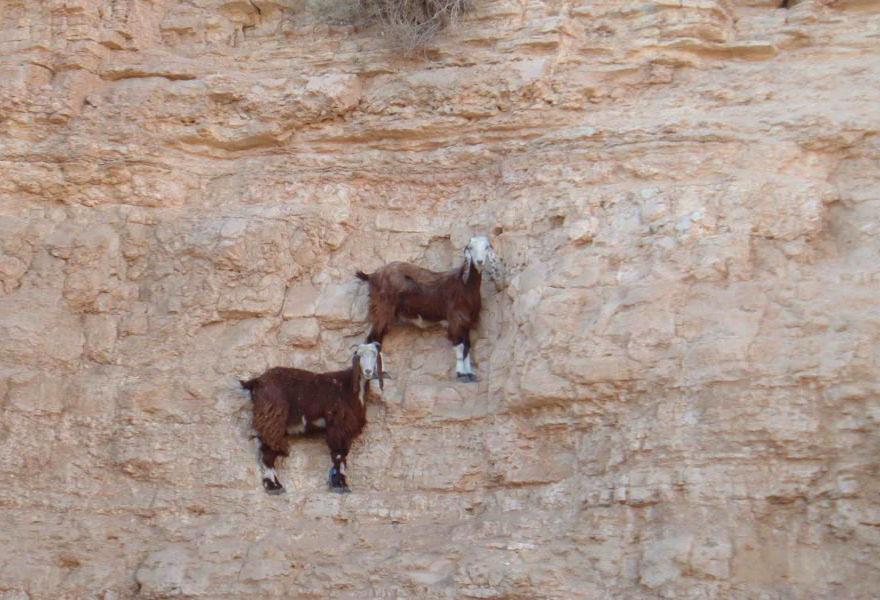 crazy-goats-on-cliffs-3.jpg
