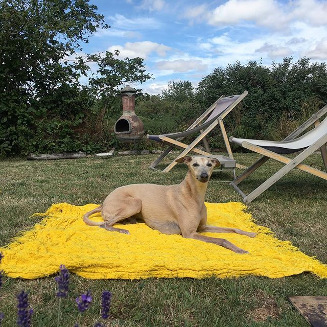 Magisterial @tobythewhippet drying himself in the sun after a much needed scrub