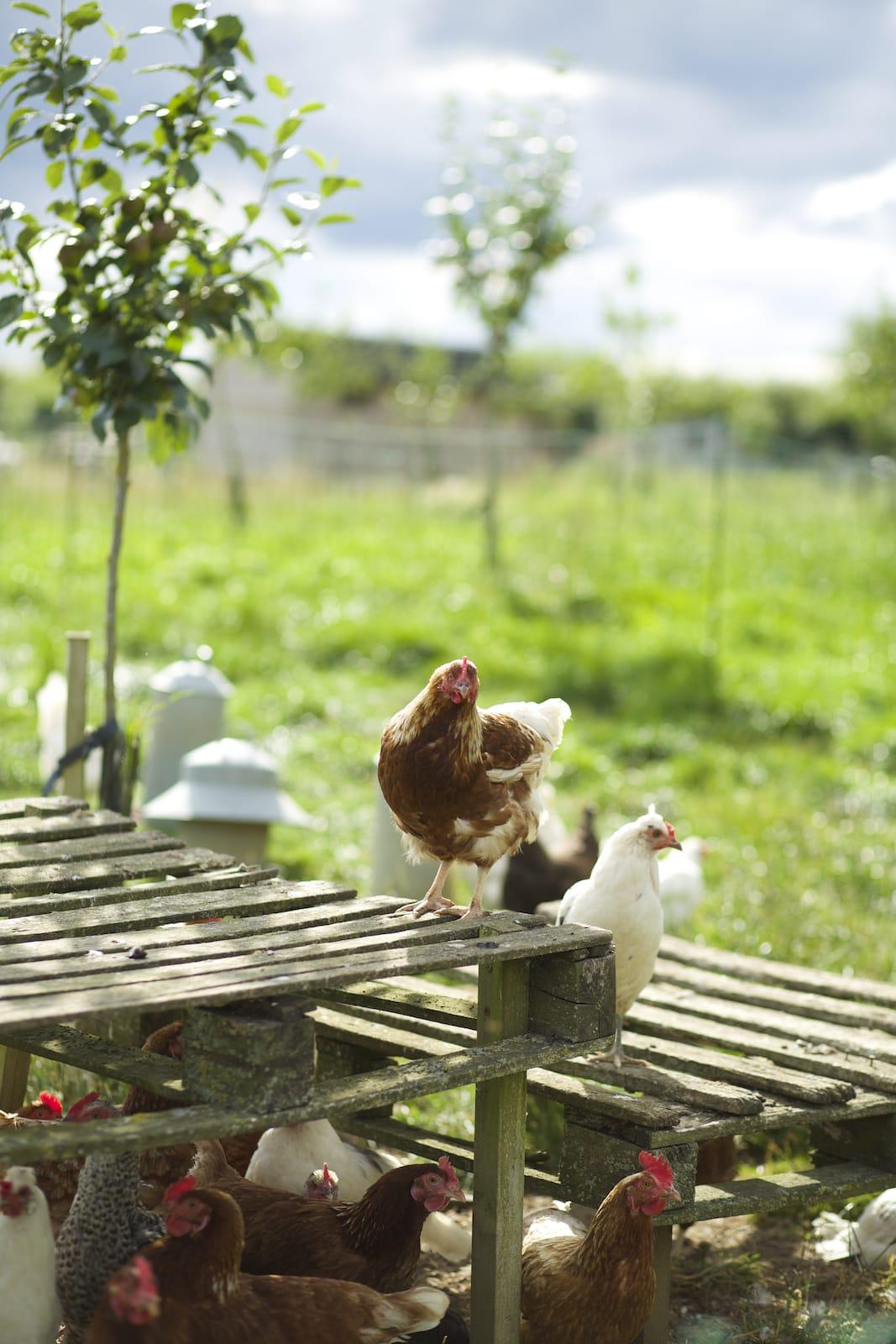 chicken-pallet_orig.jpeg