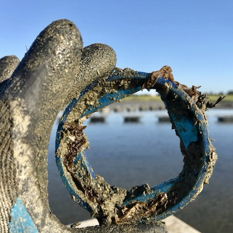 Emily's holding the type of ring used for measuring the Aunt Dottie oysters.  #emfay  photo