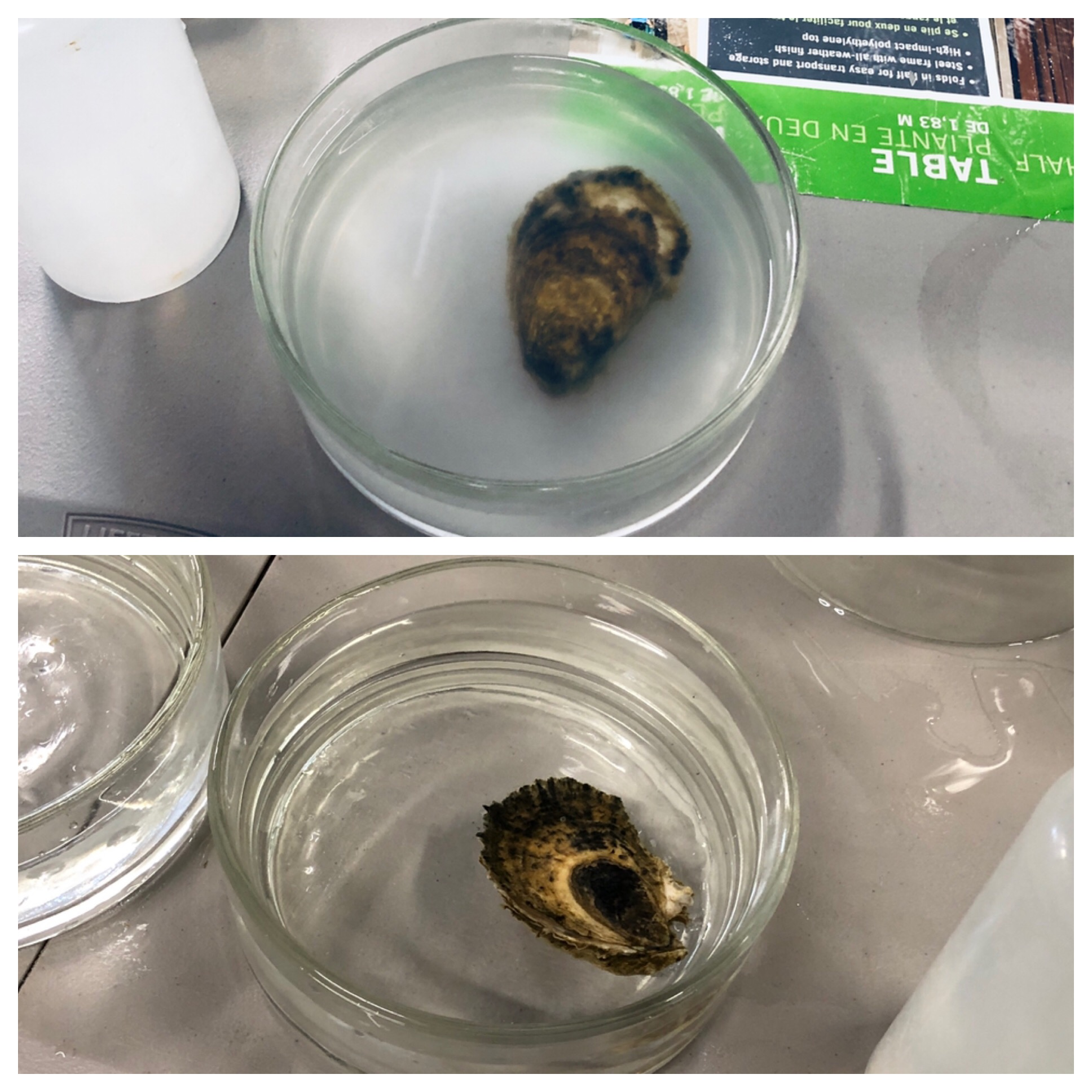 Top image: male oyster has released his sperm. Bottom image: female oyster has released her eggs. The gametes will be combined in specific proportions, then later stocked into the larvae-rearing tanks.