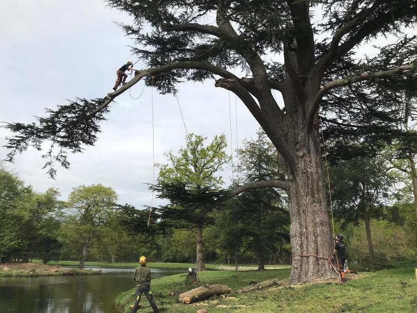 A 200 year old Cedar.