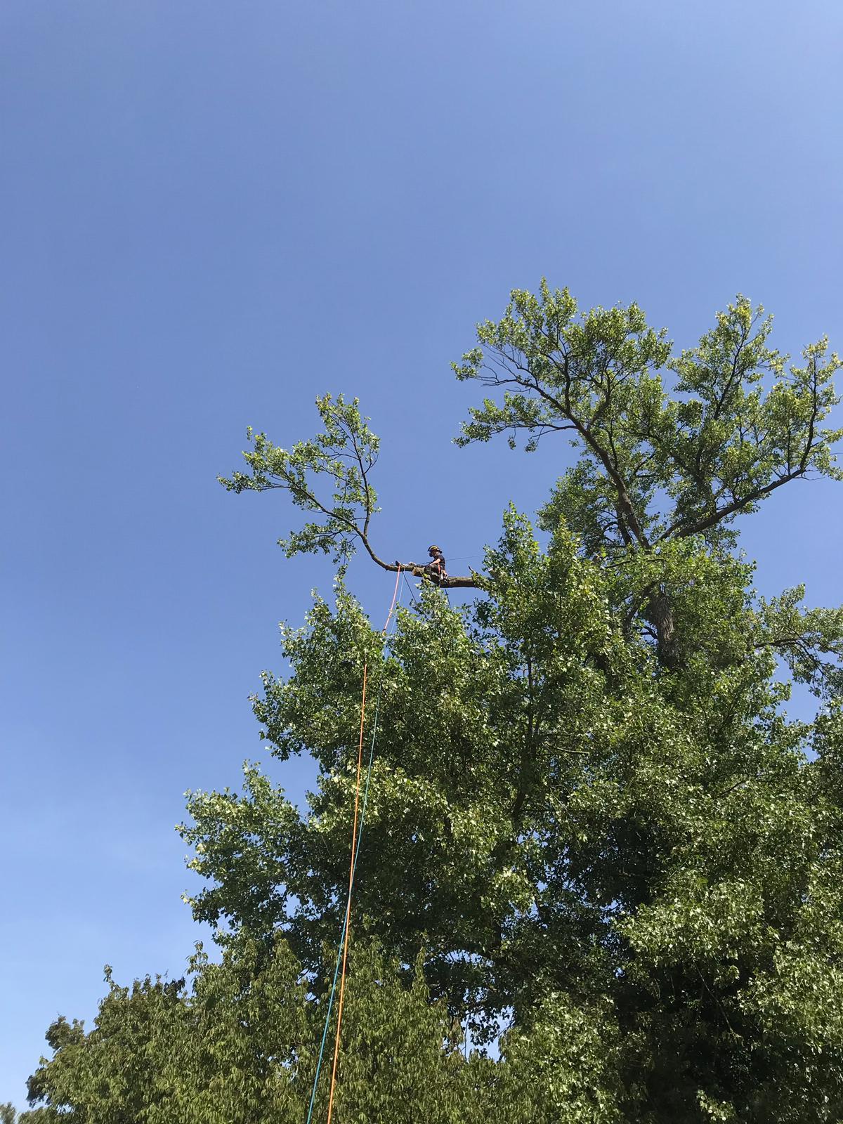 Pruning of Black Poplar.