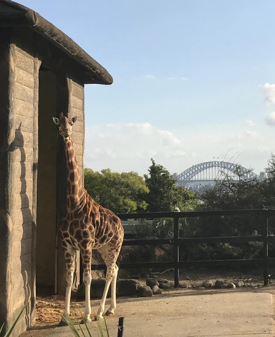 Zarafa, one of Taronga Zoo's resident giraffes