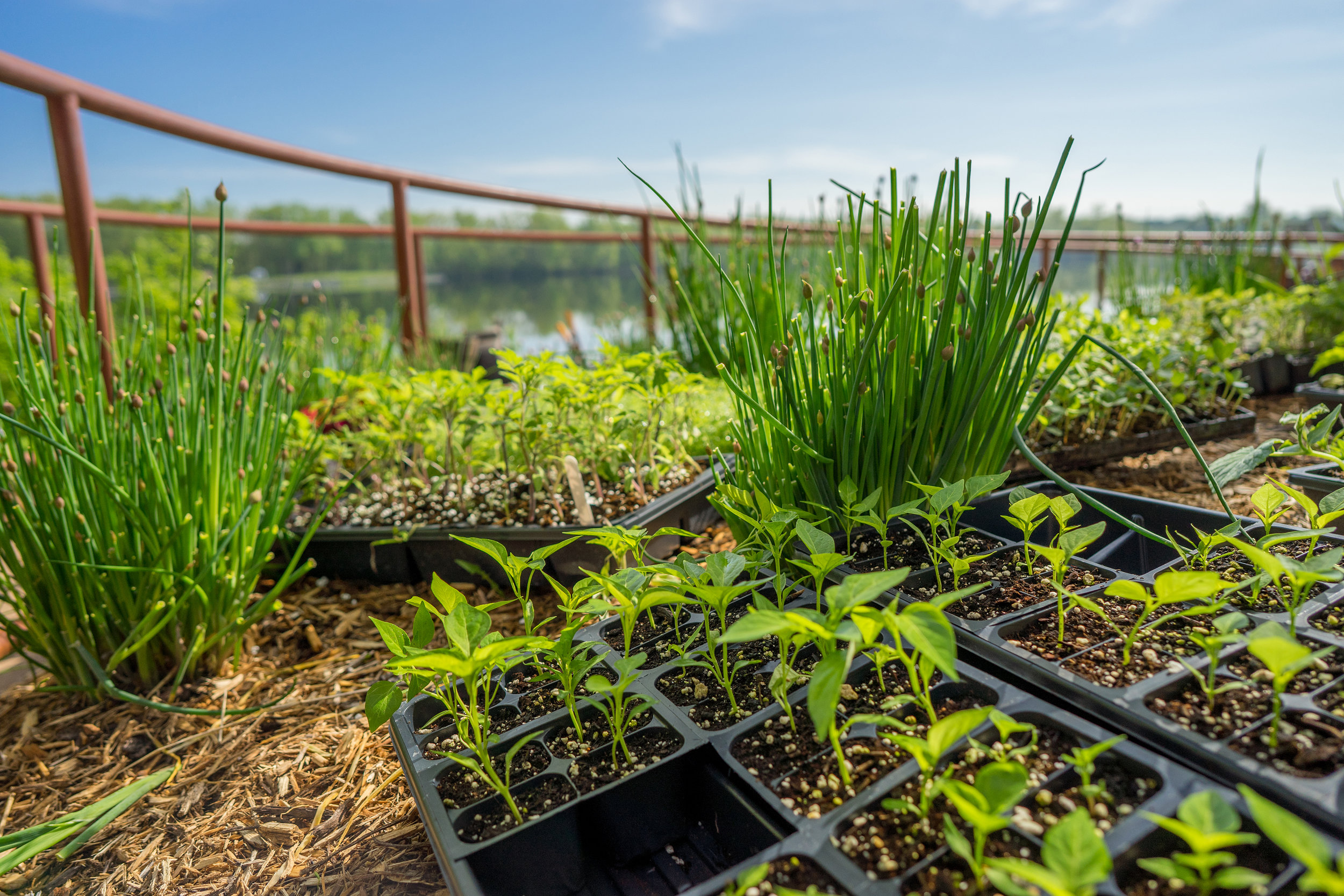 Herbs such as dill, chives, and thyme are great companion plants for repelling pests.