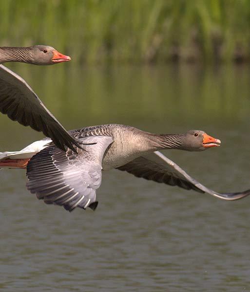 HomeThumbail-geese.jpg