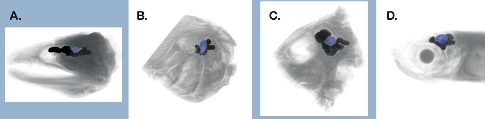 Images of fish brains scanned in our work with the visual processing region colored in blue. A. Moray Eel. B. Peacock Flounder. C. Triggerfish. D. Silverside. Images taken from Iglesias et al. 2018.