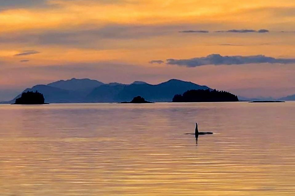Nothing like seeing an orca just before the sun sets!