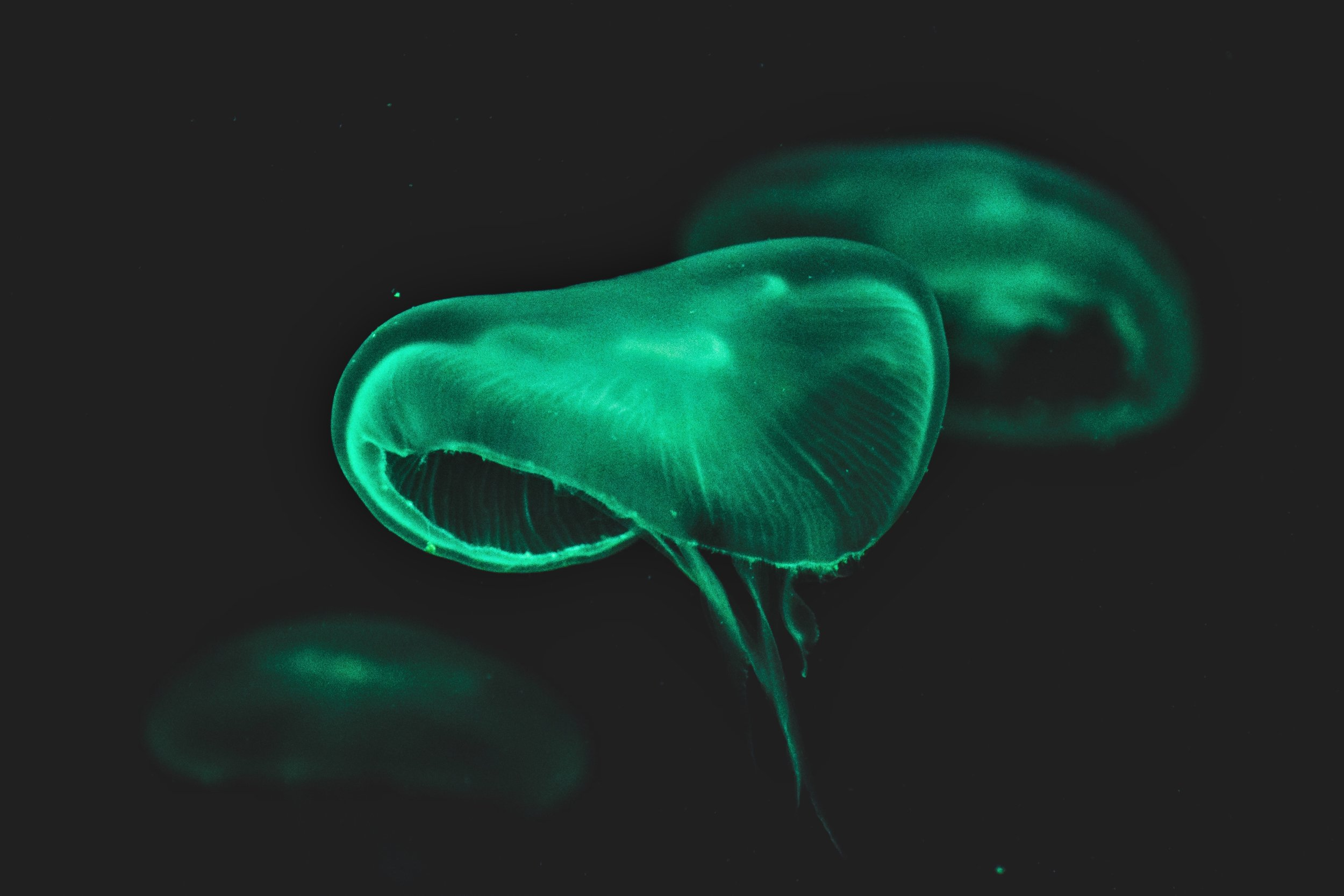Photography by Smit Patel: bioluminescent medusa jellyfish