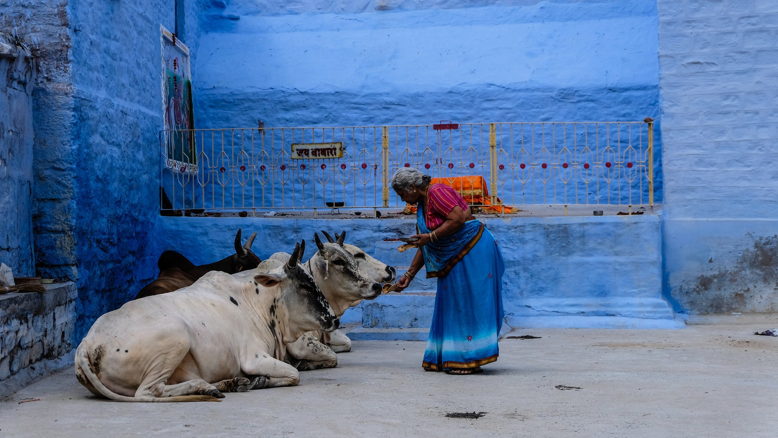 A woman feeds zebu cows in India. Photo courtesy of Monthaye.