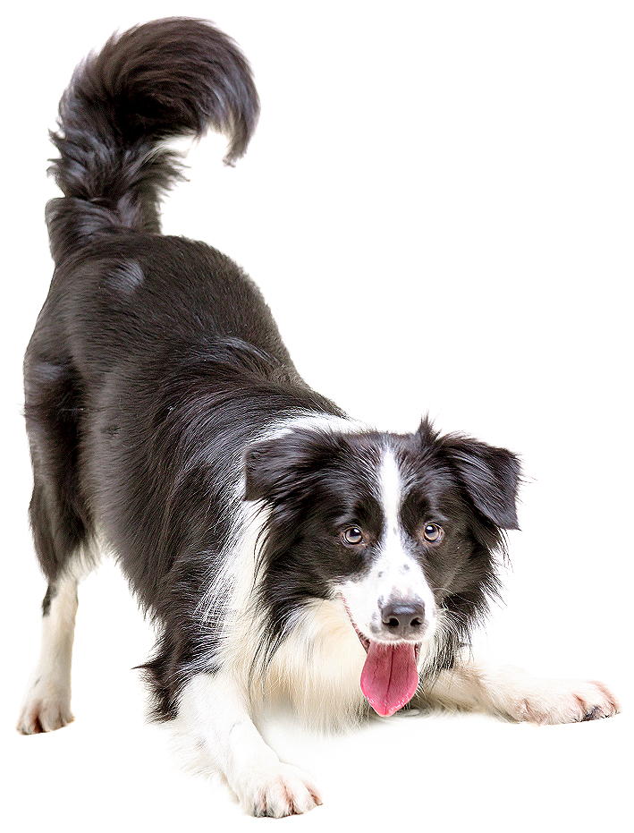 kisspng-border-collie-puppy-cat-pet-veterinarian-dogs-5aba1a760bf6d1.553726521522145910049.png