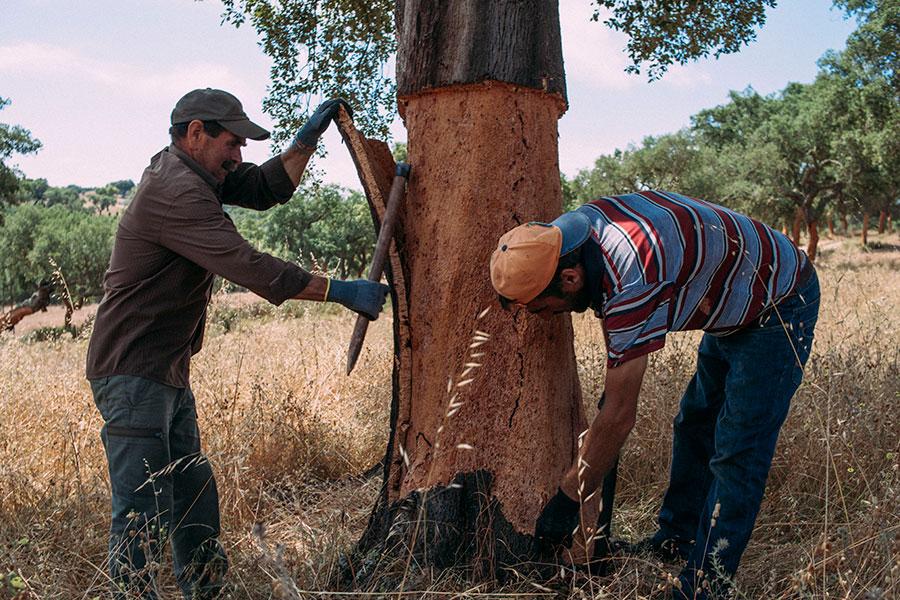 900_cork_tree.jpg