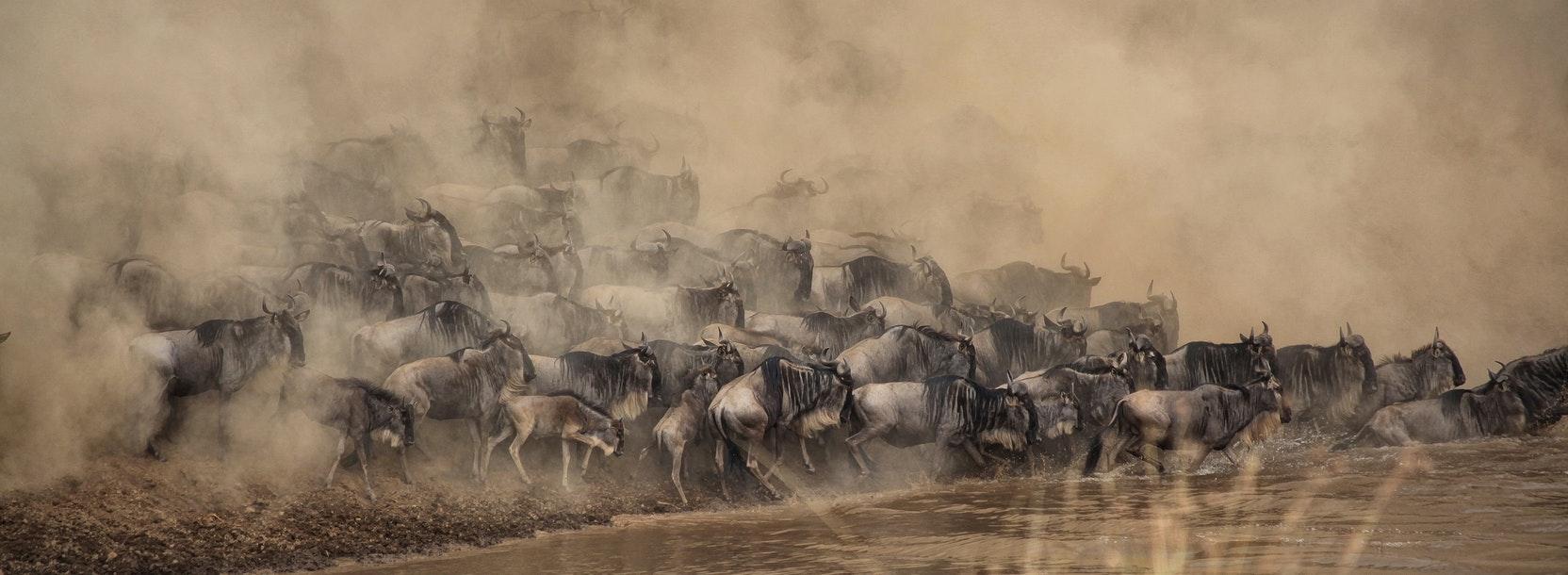 Kenya wildebeest 3.jpg