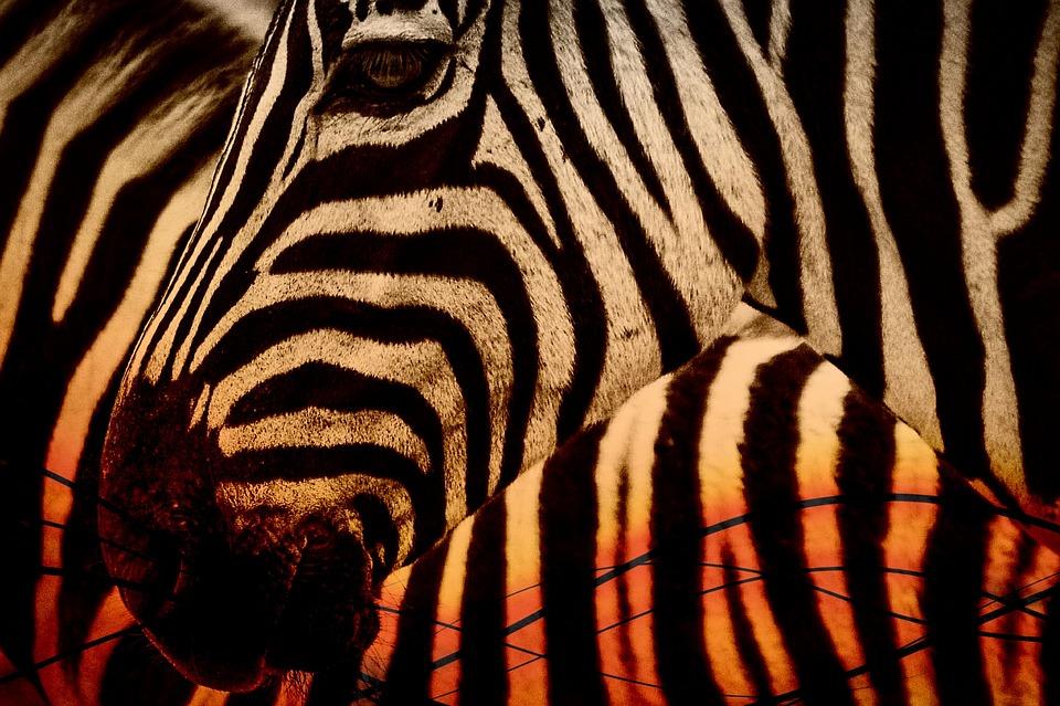 Kenya Zebra.jpg