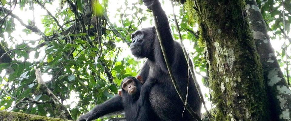 Uganda gorilla 3.jpg
