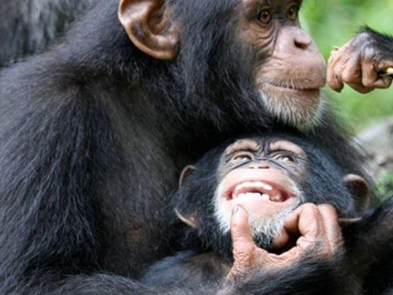 Sjimpanser i Kibale