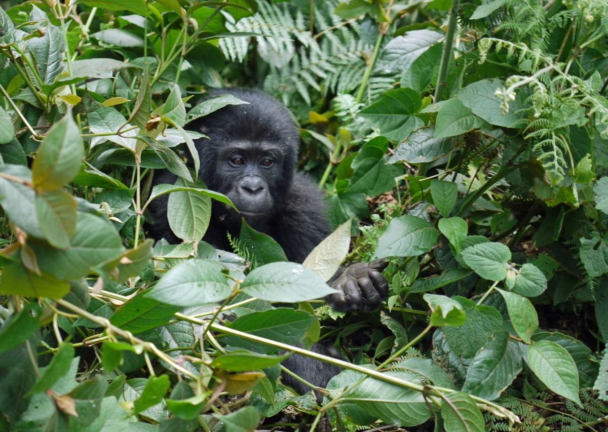 Se gorillaer i Bwindiskogen