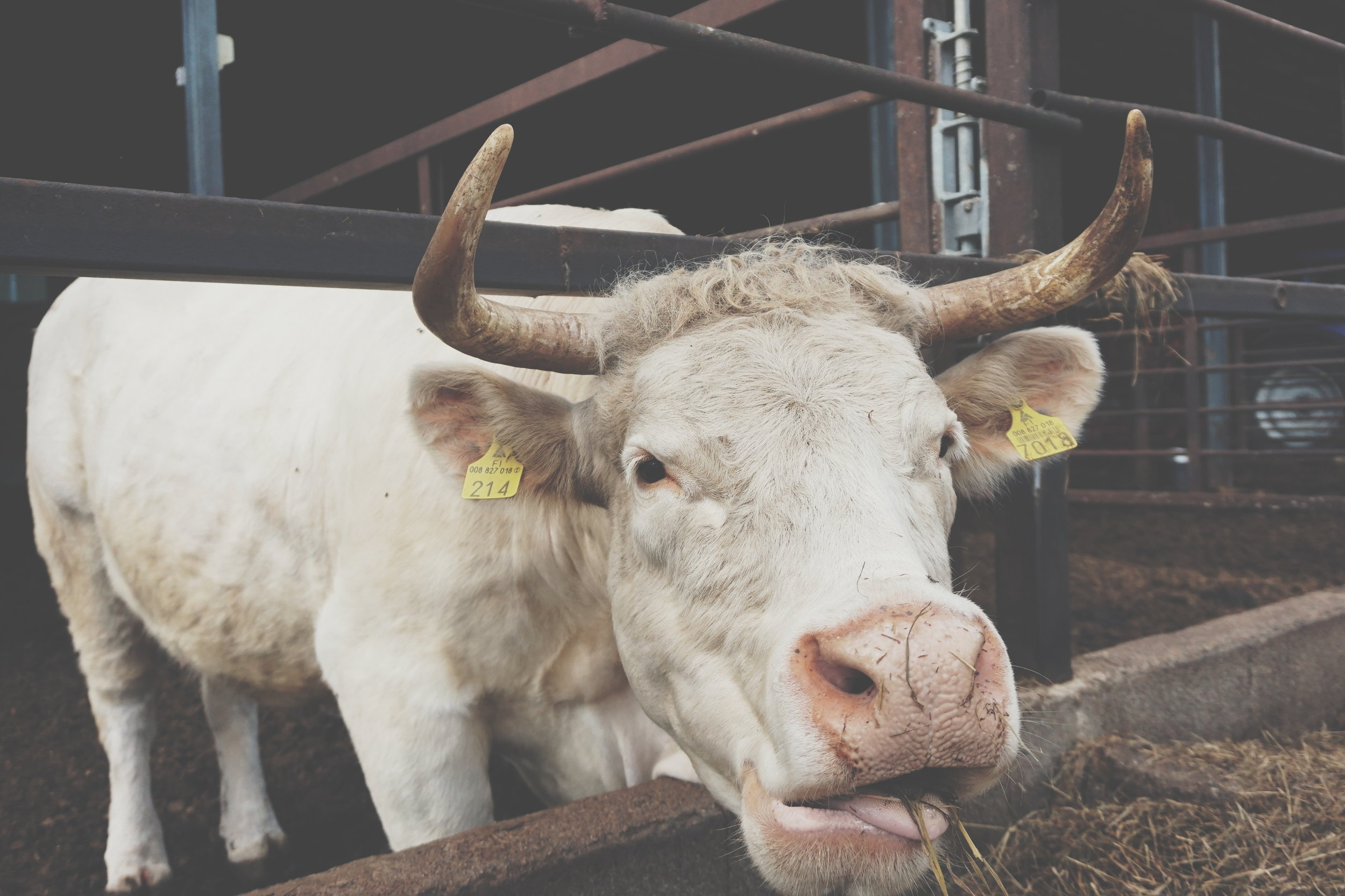 lehmät.jpg