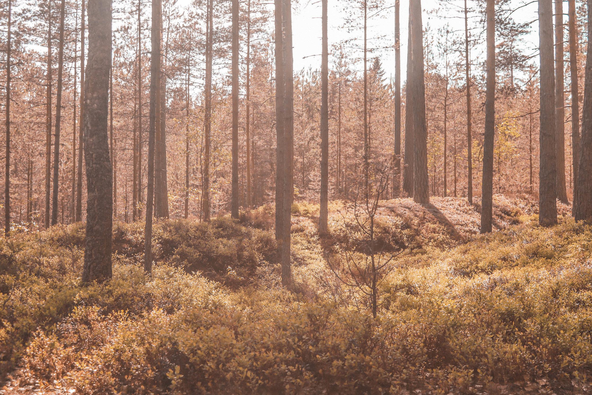 suomalainen_metsa.jpg