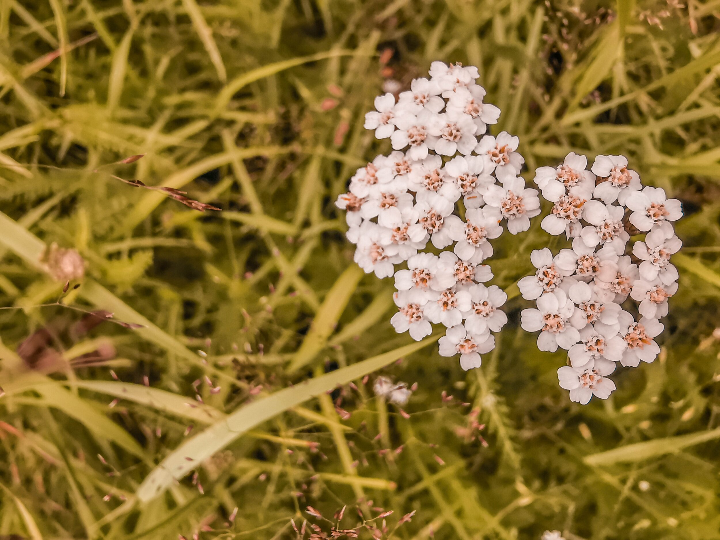 achillea_millefolium.jpg